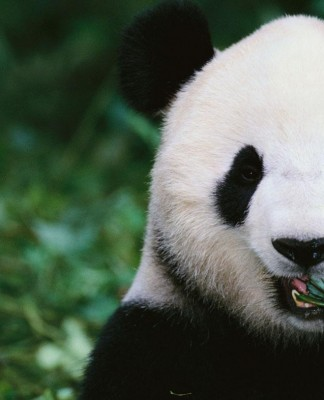 giant-panda-in-the-forest